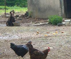 """Bieszczady: odłowiono dwa małe niedźwiadki. """"Stołowały się"""" w pobliskich gospodarstwach"""