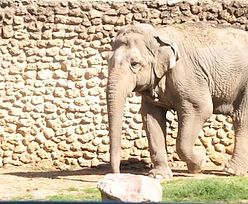 Nie żyje Flavia. Była najsmutniejszym słoniem świata