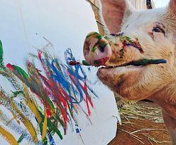 Była zwykłą świnią. Gdy uciekła spod noża, objawił się jej talent