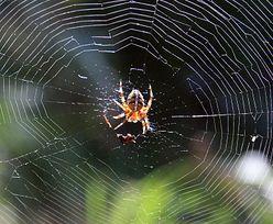 Coraz więcej pająków w naszych domach. To sprawka ewolucji