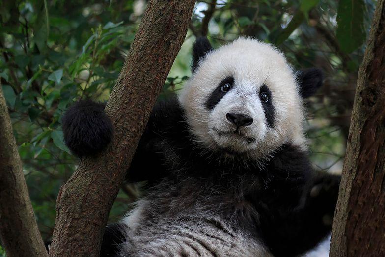 Chiny przeznaczyły 1,5 mld dolarów na budowę nowego rezerwatu dla pand