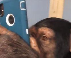 Szympans trzyma w ręku smartfona i przewija Instagrama. Tak, to się dzieje naprawdę