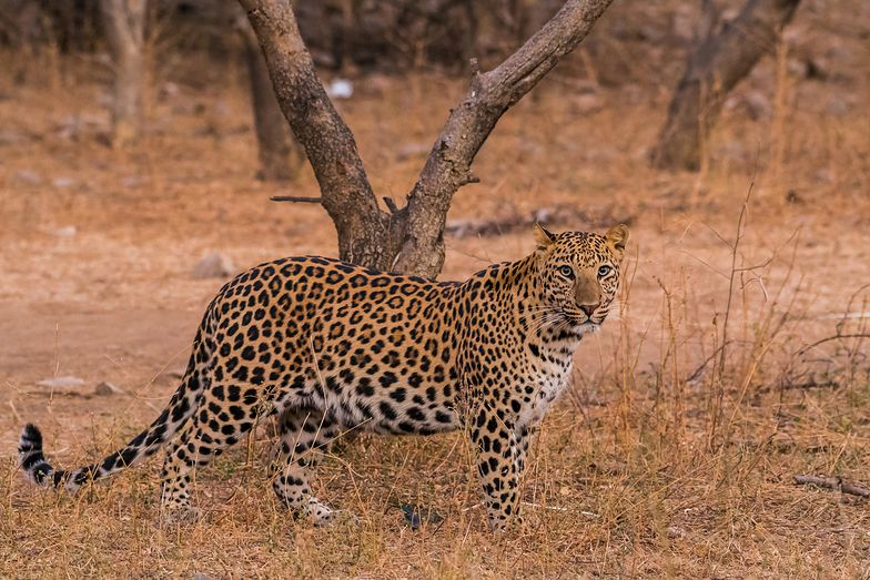 Tragedia w Parku Narodowym Krugera. Lampart zagryzł dziecko