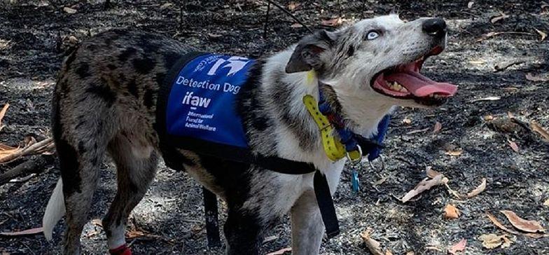 Jedyny taki pies na świecie. Ratuje koale z pożarów w Australii