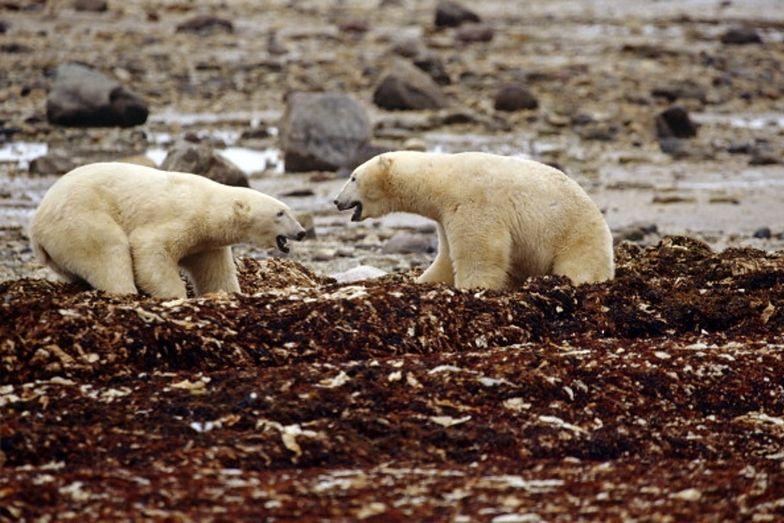 Niepokojące zachowanie niedźwiedzi polarnych. To przez globalne ocieplenie
