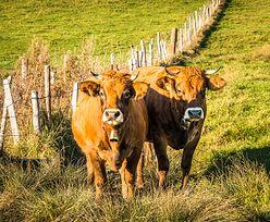 Krowy zadeptały turystkę. Rolnik musi zapłacić gigantyczne odszkodowanie