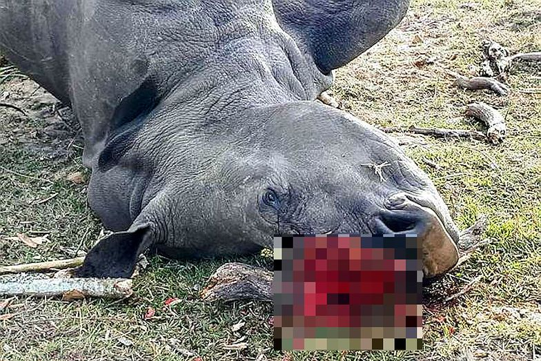 Nosorożec Bella zabity przez kłusowników w RPA