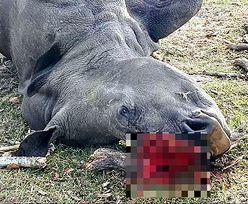 Nosorożec Bella zabity dla 1 cm rogu. Wcześniej weterynarze wycięli go, aby chronić samicę przed kłusownikami