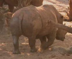 2-latka wpadła na wybieg dla nosorożców. Dramat na Florydzie