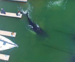 Wieloryb utknął w porcie. Jest wideo