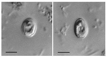 Pierwotniak Cryptosporidium muris