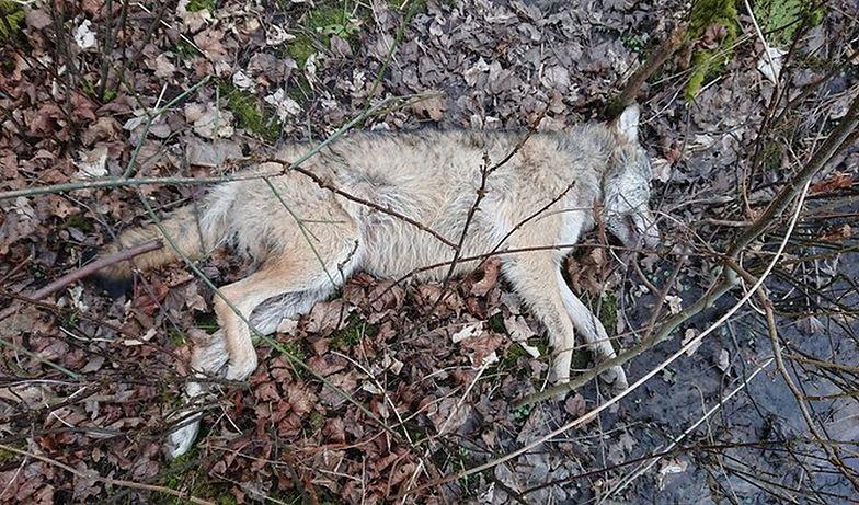 Zachodniopomorskie. Martwy wilk został znaleziony w lesie.