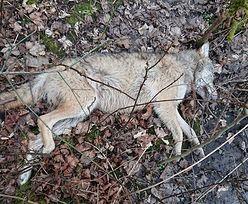 Zachodniopomorskie. Martwy wilk w lesie. Po oględzinach wezwali policję