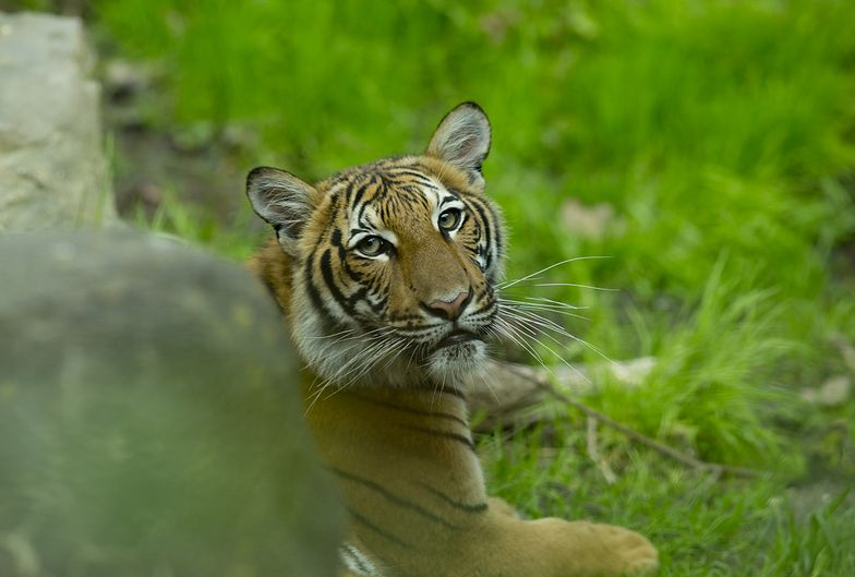 Koronawirus. Jeden z wielkich kotów mieszkających w Bronx Zoo.