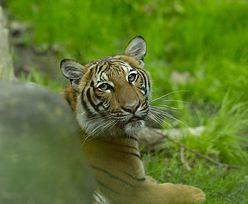 Koronawirus. Tygrys zakażony. Wielki kot mieszka w zoo w Nowym Jorku