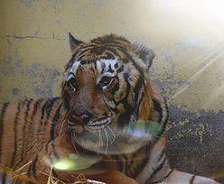 """Tygrys Gogh z poznańskiego zoo zjadł pierwszy posiłek. """"Nie wolno się cieszyć, ale..."""""""