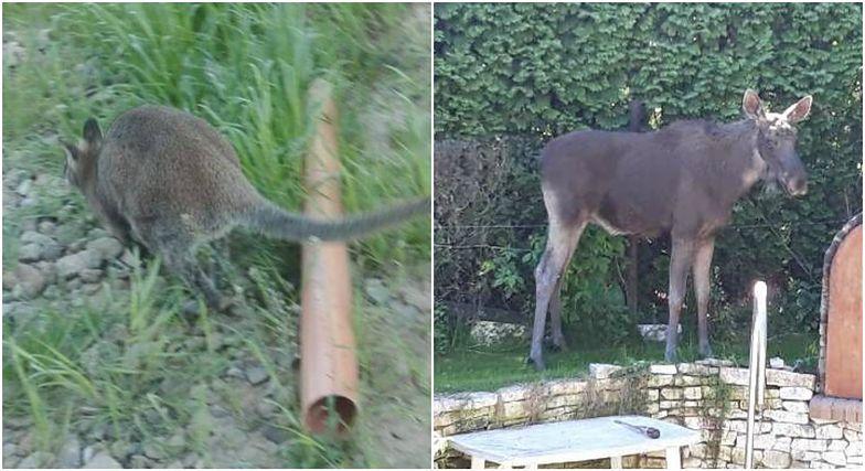 Niepokorny łoś w Świdniku, samotny kangur w Krakowie. Koniec majówki przyciągnął zwierzęta do miast