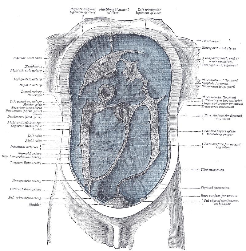Schemat budowy otrzewnej
