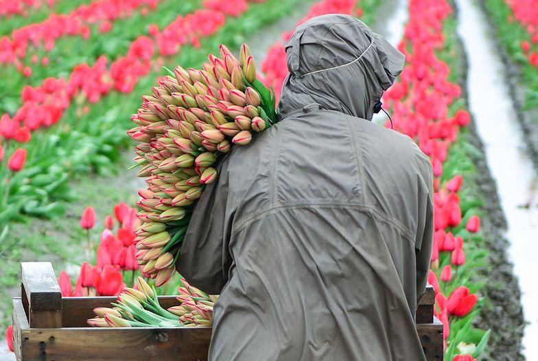Nie ma komu zrywać tulipanów. Holendrzy przestraszyli Polaków