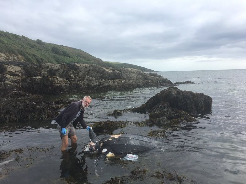 Martwy żółw na plaży w Kornwalii. W brzuchu miał plastik