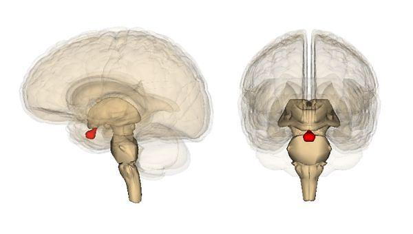 Mózg z zabawioną na czerwono przysadką mózgową