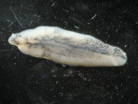 Zdjęcie motylicy wątrobowej