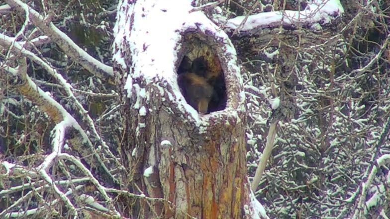 Tak wygląda niedźwiedź budzący się z zimowego snu. Zachowuje się, jakby miał kaca giganta