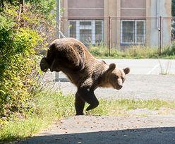 Strach w Rumunii. Niedźwiedź próbował wedrzeć się do szkoły