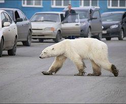 Wycieńczony z głodu niedźwiedź zawędrował na Syberię. Przeszedł 1500 km