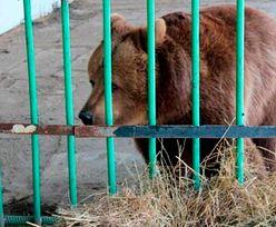 Niedźwiedzica siedziała w więzieniu dla ludzi. Wyszła po 15 latach