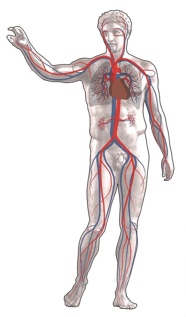 Schemat układu krwionośnego