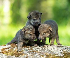Beskid Śląski. Ktoś zastrzelił wilka. Młode straciły rodzica