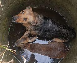 Wielkopolskie. Pies i sarna razem wpadły do studni we wsi Krzewina