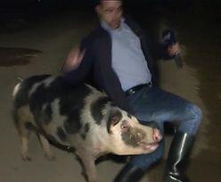 Dziennikarz prowadził relację na żywo. Nagle zaatakowała go świnia
