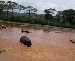 Tajemnicza śmierć hipopotamów. 15 zwierząt jednego dnia