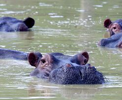 Hipopotamy Pablo Escobara zatruwają Kolumbię