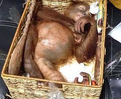 Rosjanin aresztowany. Chciał przemycić orangutana w walizce