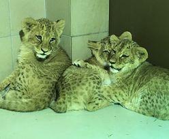 W gdańskim ZOO na świat przyszły małe lwiątka. Byliśmy tam z kamerą!