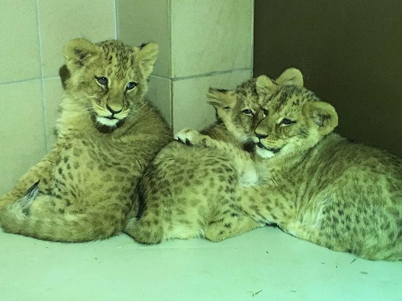 Lwiątka nie mają jeszcze imion. Ogrody zoologiczne często zachęcają zwiedzających, by ci pomogli im w tak ważnym wyborze