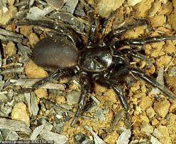 Plaga zabójczych pająków w Australii. Wszystko przez deszcze
