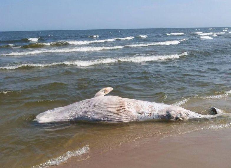 Bałtyk wyrzucił na brzeg wieloryba. Nowe fakty