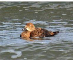Kaczki z Arktyki w… Sopocie. Jest u nas aż tak zimno