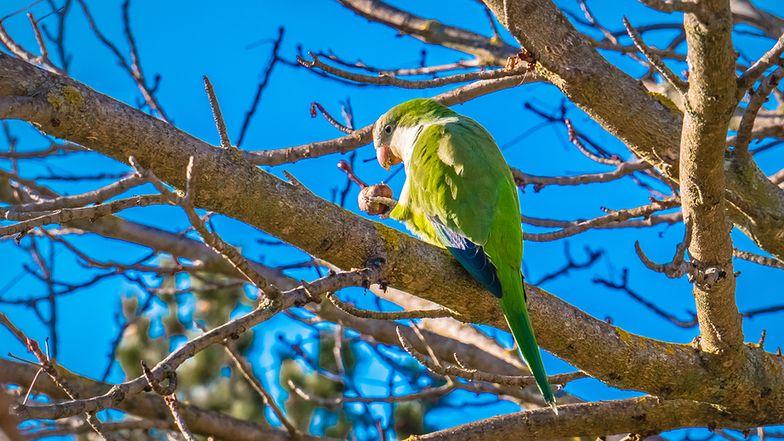 Papugi stały się problemem w Madrycie