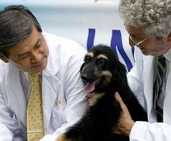 Ponownie sklonowali pierwszego sklonowanego psa. Nagła śmierć