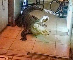 Puk, puk. Wielki aligator włamał się do domu na Florydzie