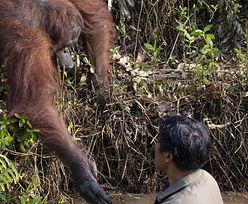 Orangutan przyszedł na ratunek człowiekowi. Wyciągnął pomocną dłoń