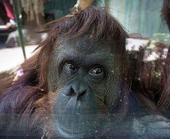 Orangutan z prawami człowieka. Sandra wkrótce rozpocznie nowe życie