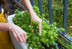 Najlepsze zioła na katar