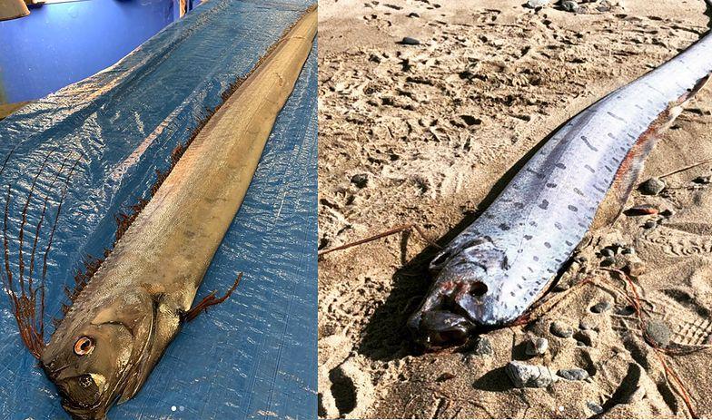 Dziwne zachowanie ryb zwiastuje kataklizm. Japończycy obserwują w strachu
