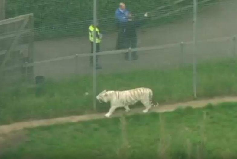 Tygrys zaatakował pracownicę ZOO. Nie miała szans
